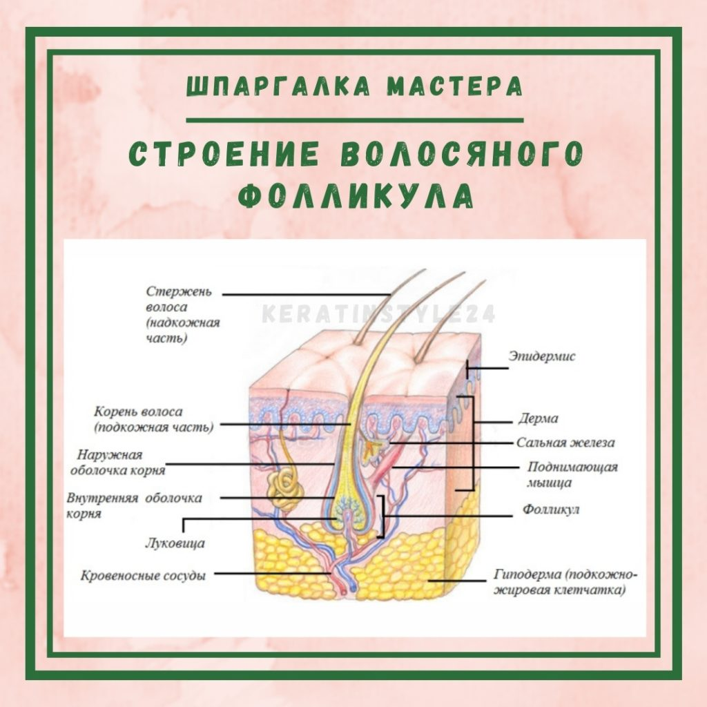 Stroenie_Volosyanovo_Follikyla