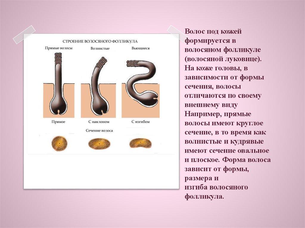 Stroenie_VOLOSYNNOGO_Follikyla